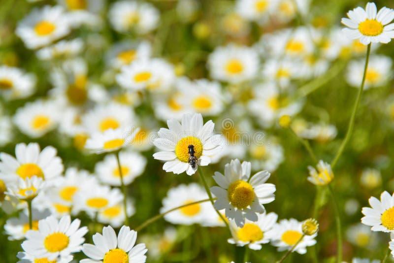 Insecto en la flor de la manzanilla foto de archivo libre de regalías