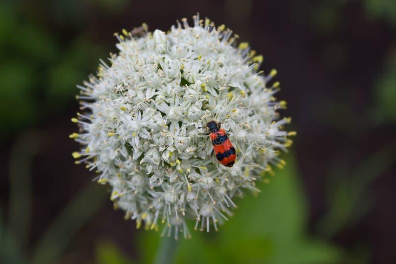 Insecto en Luque imagen de archivo libre de regalías