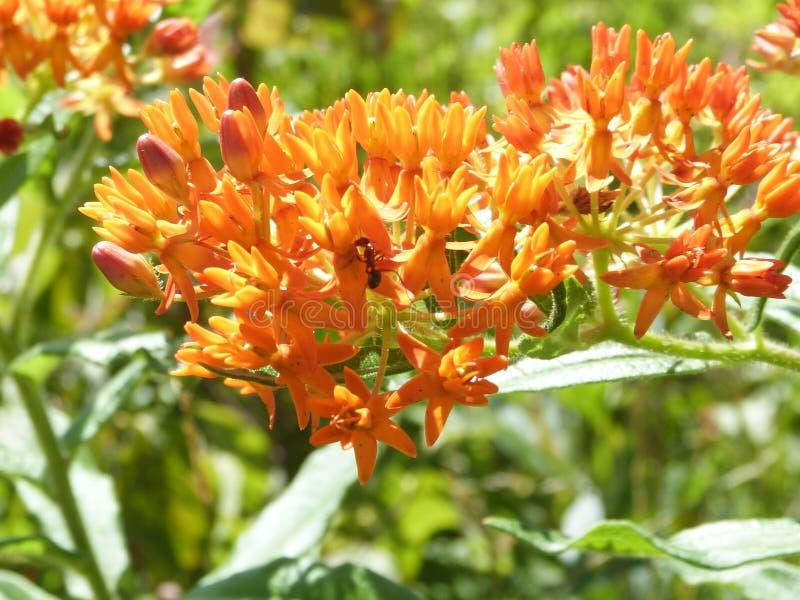 Insecto en una flor anaranjada imagen de archivo