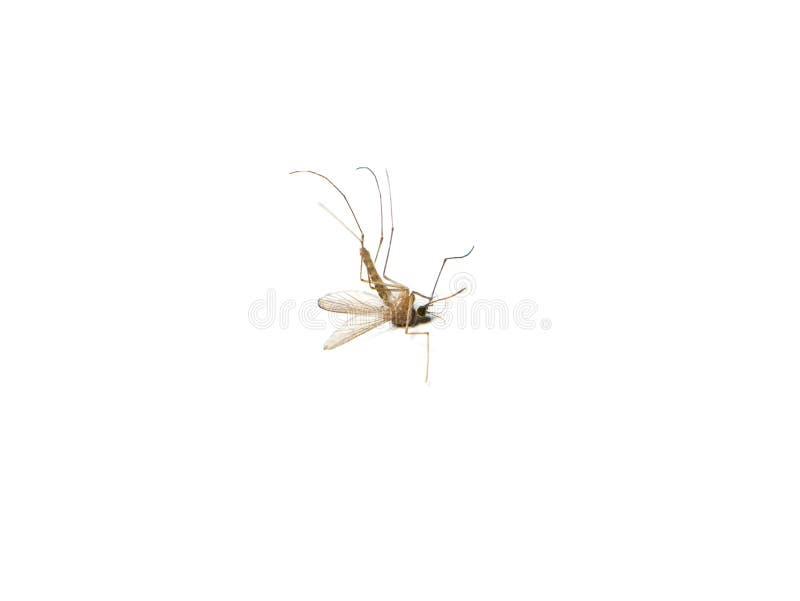 Insecto muerto del mosquito en el cierre blanco del fondo para arriba imagen de archivo