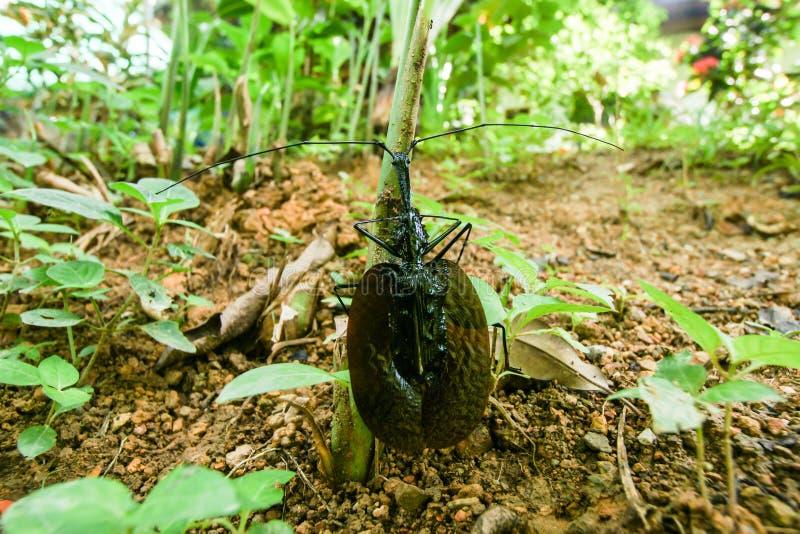 Insecto negro extraño imagenes de archivo