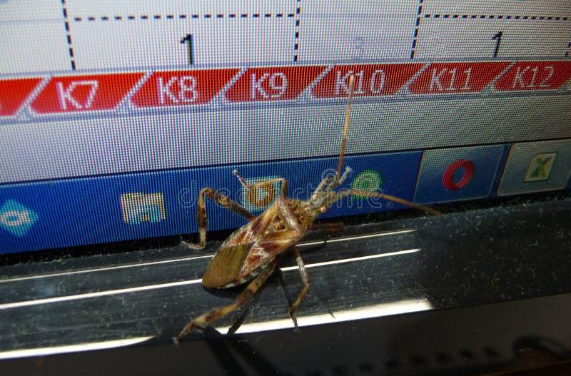 Insecto occidental de la semilla de la conífera en el monitor de computadora foto de archivo