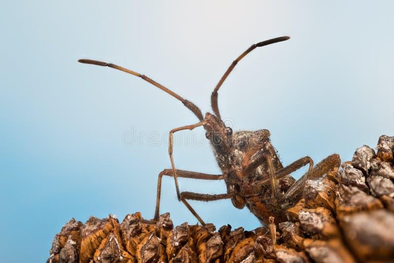 Insecto occidental de la semilla de la conífera, escarabajo, occidentalis del Leptoglossus fotografía de archivo