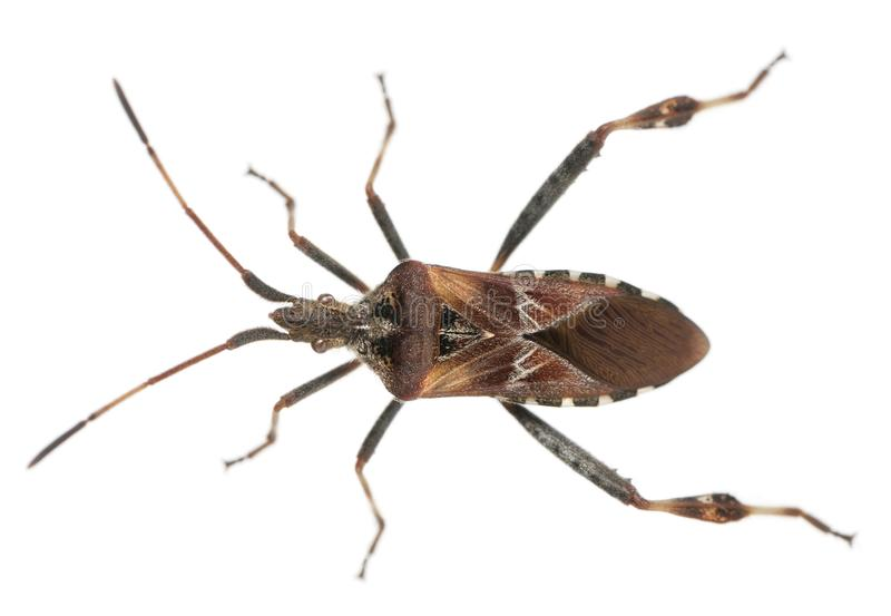 Insecto occidental de la semilla de la conífera, occidentalis del Leptoglossus fotos de archivo