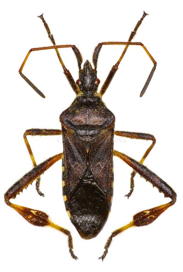 Insecto occidental de la semilla de la conífera en el fondo blanco fotografía de archivo libre de regalías