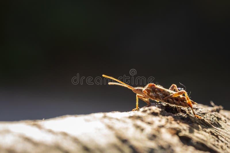 Insecto occidental del insecto de la semilla de la conífera, occidentalis del Leptoglossus, buche fotos de archivo libres de regalías