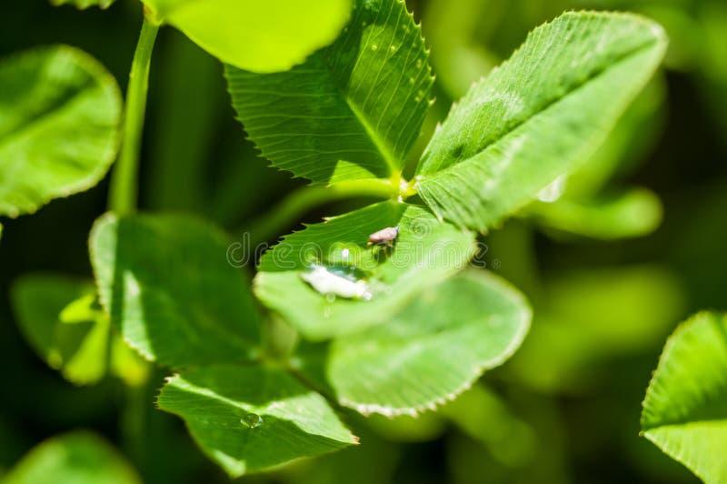 Insecto que bebe de un descenso del agua en la hierba verde despu?s de la lluvia, foto macra fotos de archivo libres de regalías