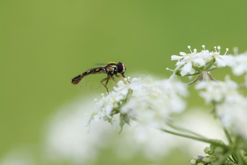 Insecto que chupa en la flor foto de archivo