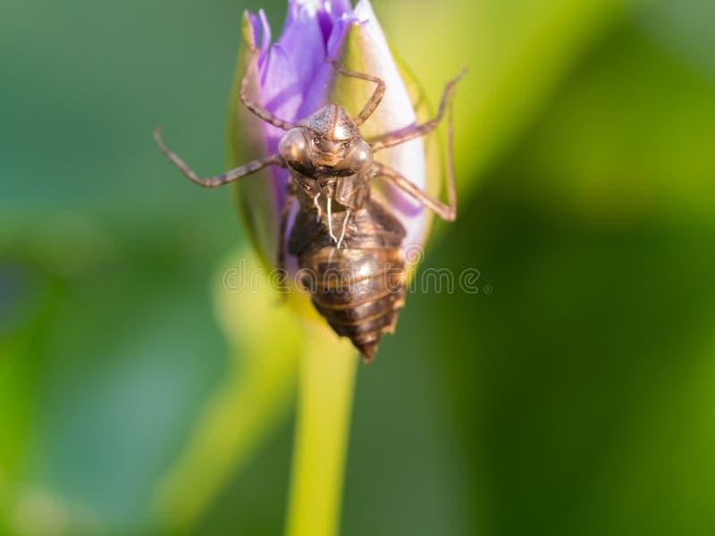 Insecto que muda en la flor fotografía de archivo libre de regalías
