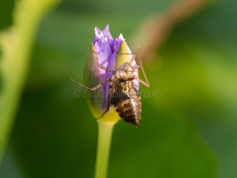 Insecto que muda en Lotus Flower imagen de archivo