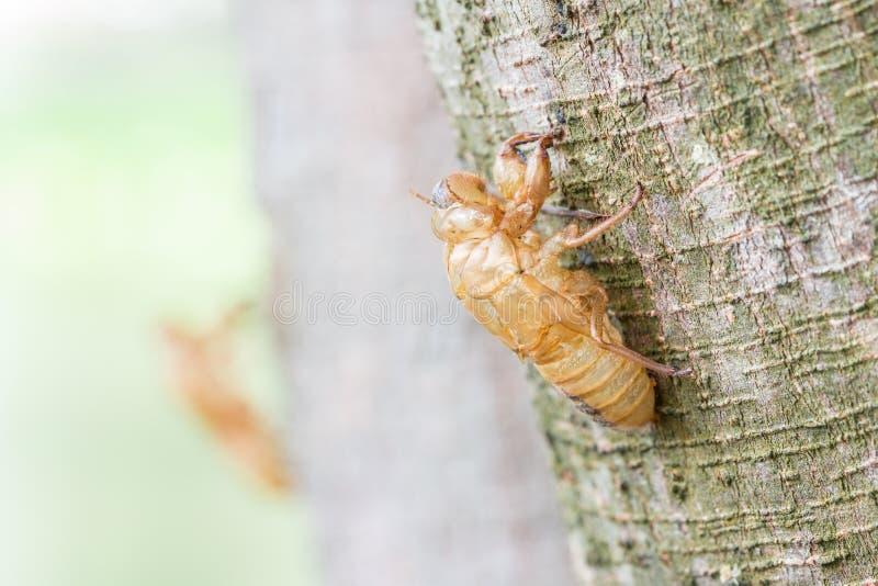 Insecto que muda, muda de la cigarra en corteza de árbol foto de archivo