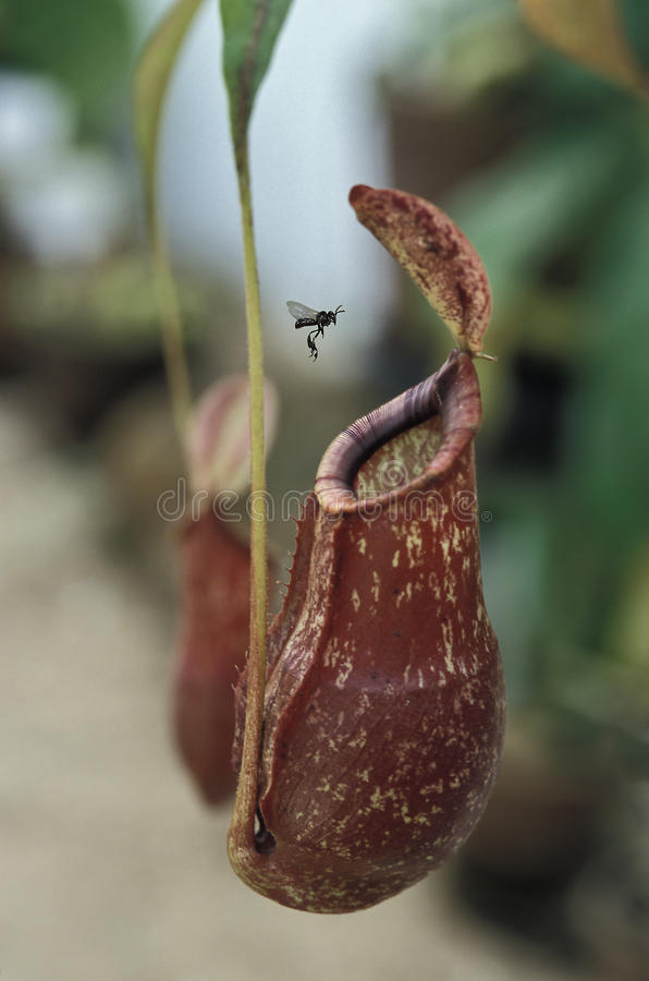 Insecto que se acerca a una planta carnívora fotos de archivo libres de regalías