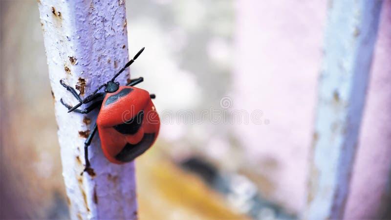 Insecto rojo del soldado que se sienta en una vista delantera de la cara de la barra de hierro foto de archivo