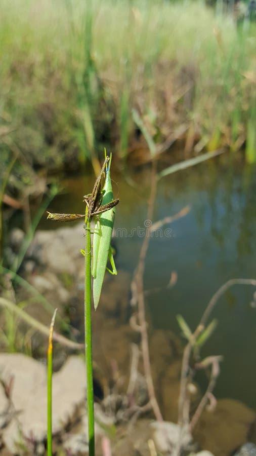 Insecto verde en hierba imágenes de archivo libres de regalías
