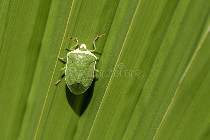 Insecto verde en la hoja grande verde fotos de archivo