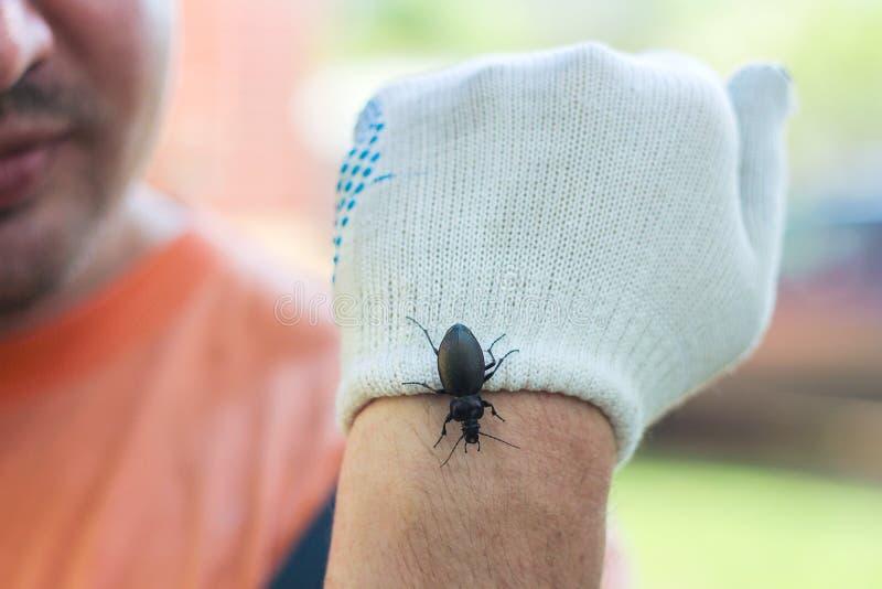 Insectophobia un grand scarabée noir sur le bras de l'homme la main est protégée par un gant photos libres de droits