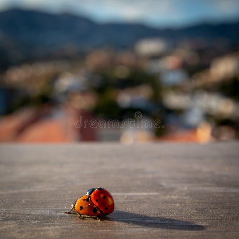 Insectos de acoplamiento de la señora en Costa del Sol imagen de archivo libre de regalías