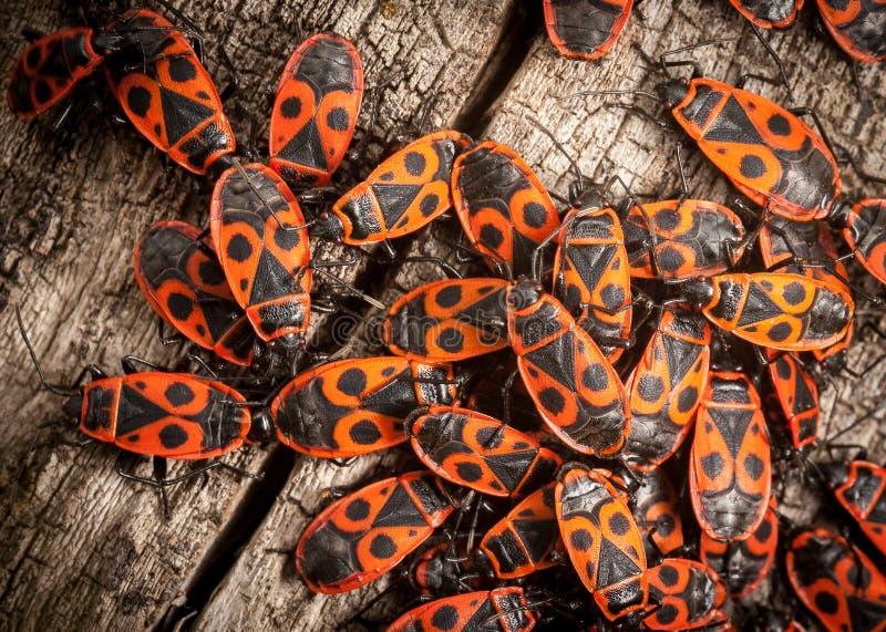 Insectos de fuego fotografía de archivo libre de regalías