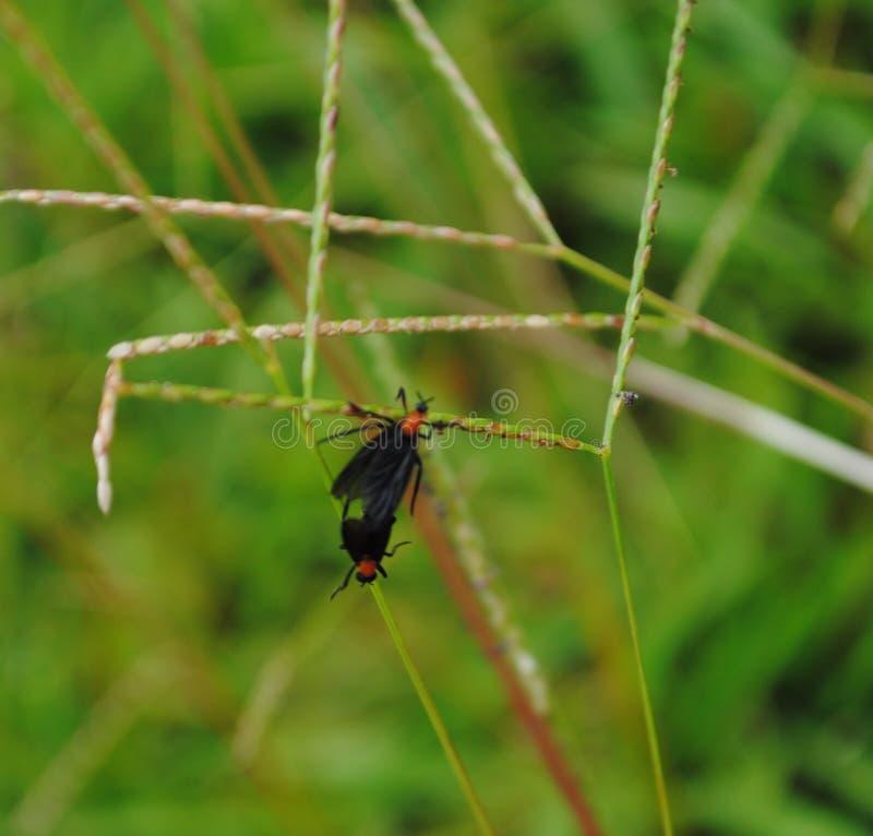 Insectos del amor en un tallo de la hierba foto de archivo