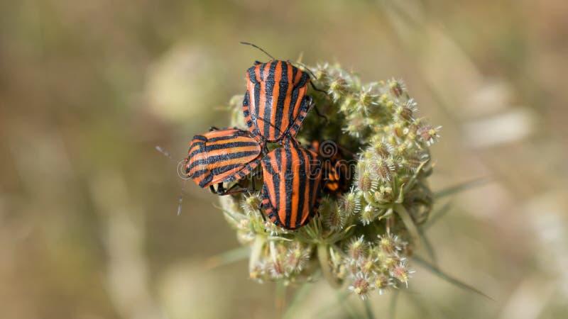 Insectos negros y rojos imagenes de archivo