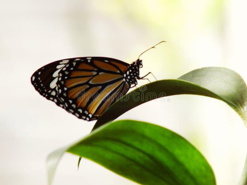 Insectos preciosos de la mariposa con el fondo colorido de la naturaleza del filtro imagen de archivo libre de regalías