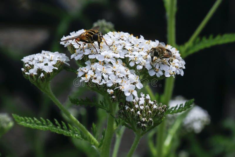 Insectos que alimentan en las flores de Yarrow Achillea Millefolium foto de archivo libre de regalías