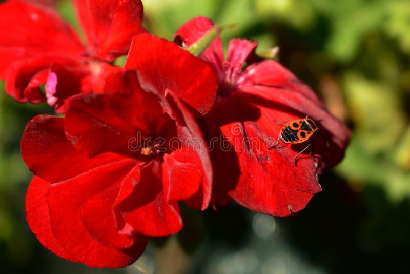 Insectos rojos imagen de archivo