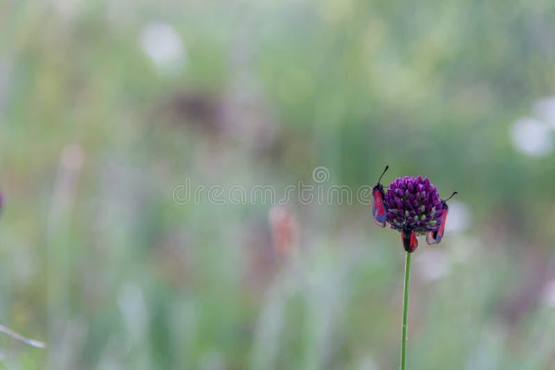 Insectos rojos en cierre púrpura de la flor del campo para arriba imagen de archivo