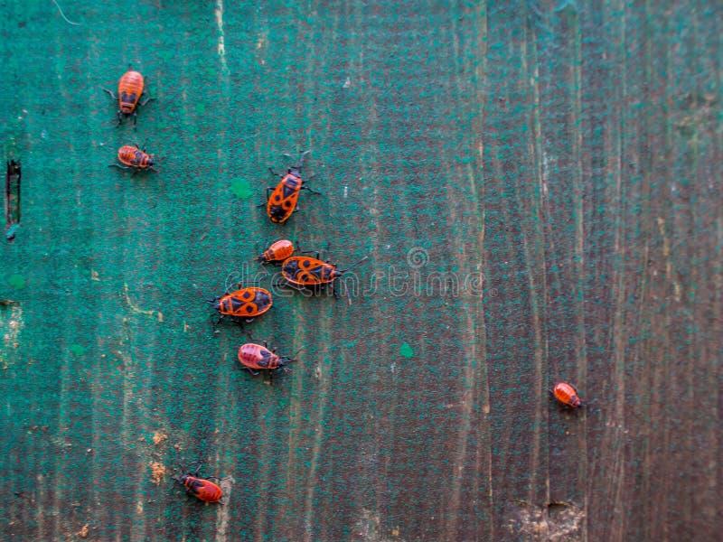 Insectos rojos en un tablero de madera fotos de archivo