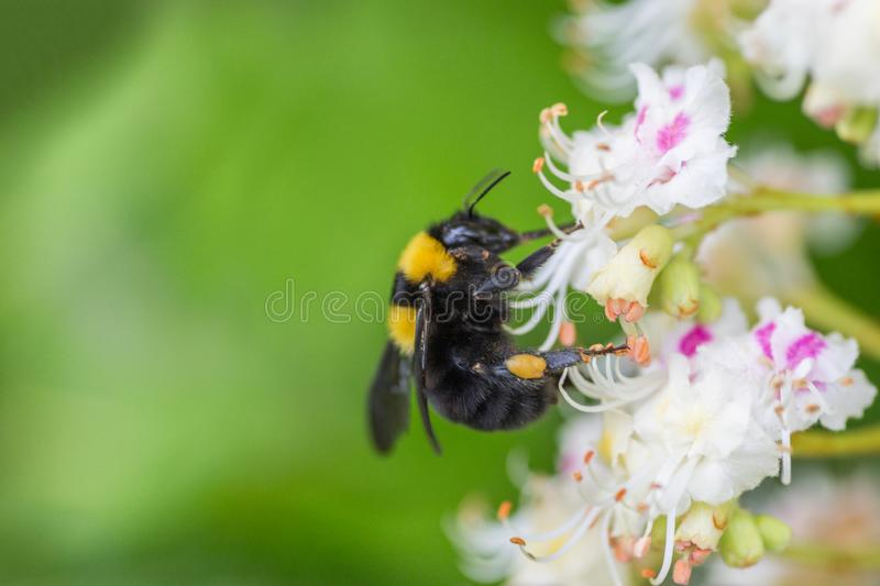 Insects collect nectar on flowers close-up. Bumblebees on honey plants in summer royalty free stock image