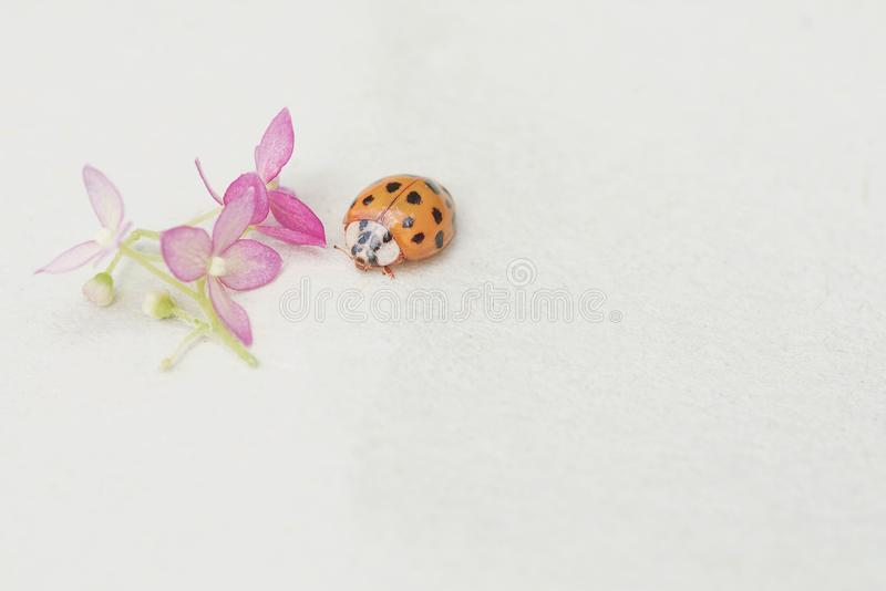 Insects, ladybug close-up. Soft and selective focus.ladybug sits on a flower stock photo