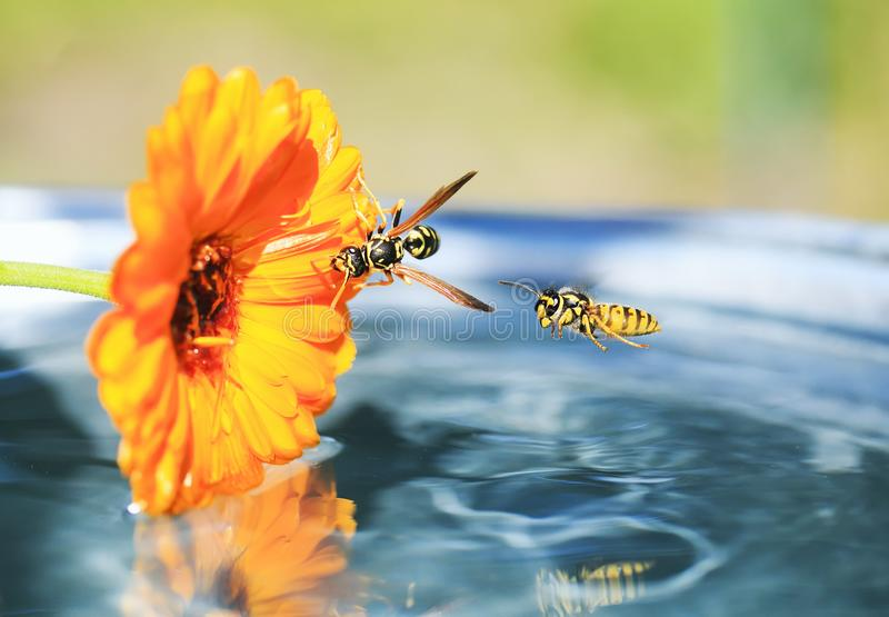 Insects wasp flew to the flower in the garden floating on the water and drink with him. Insects striped wasp flew to the flower in the garden floating on the royalty free stock photos