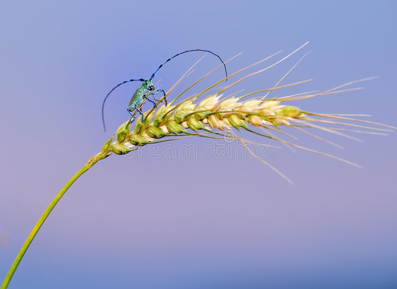 Insects and wheat stock photography