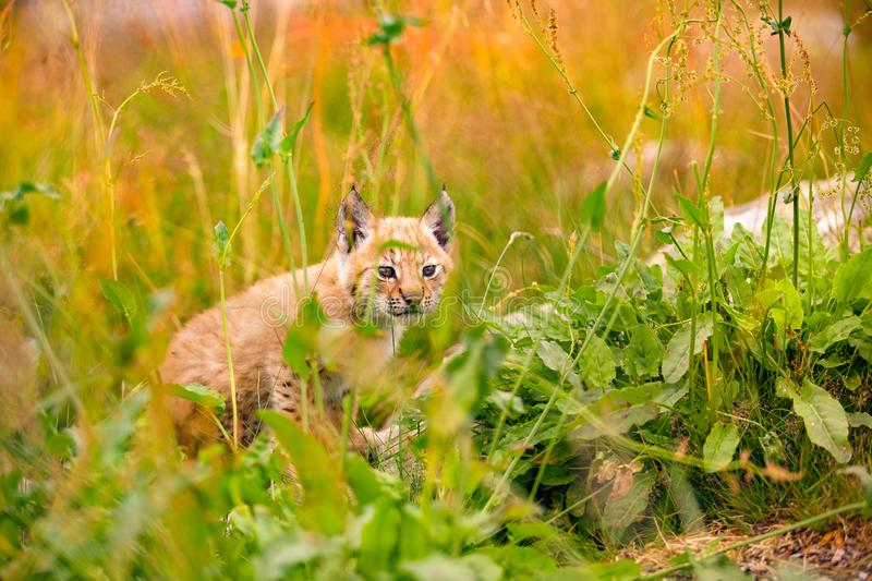 Insecure and Vulnerable Lynx Cub Sitting Amidst Plants In Forest. Insecure and vulnerable lynx cub sitting amidst plants on field in forest stock photos