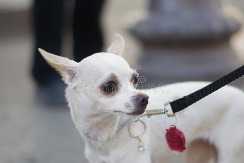 Insecure White Chihuahua. A beautiful white chihuahua that looks overwhelmed, sad, and insecure, is standing in the street on a black leash held by their off royalty free stock photography