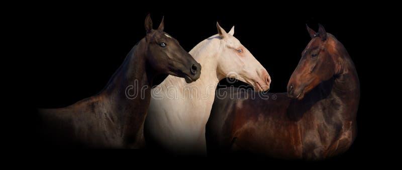 Insegna del ritratto del cavallo di tre achal-teke immagini stock libere da diritti