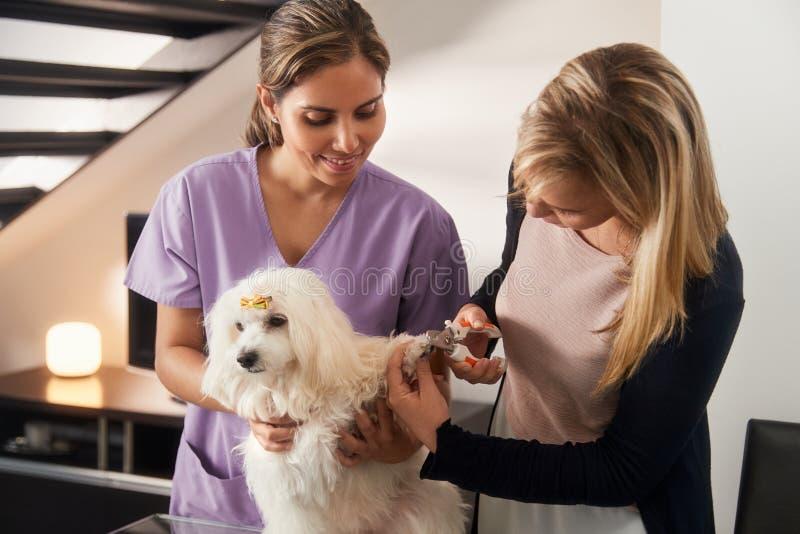 Insegnamento veterinario come utilizzare il tagliatore di chiodo con il cane fotografia stock