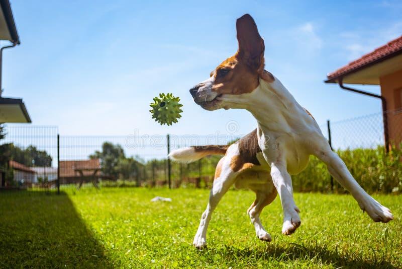 Insegua il cane da lepre divertendosi correre e saltando con una palla in un giardino immagini stock