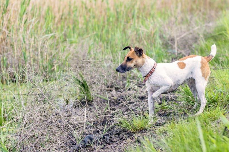 Insegua il fox terrier su terra aperta nella caccia fotografia stock
