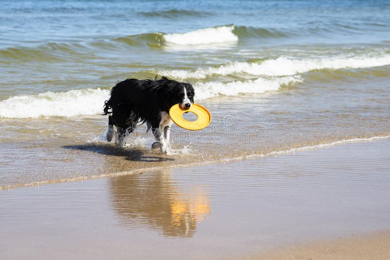 Insegua il funzionamento che recupera un giocattolo nel mare fotografia stock