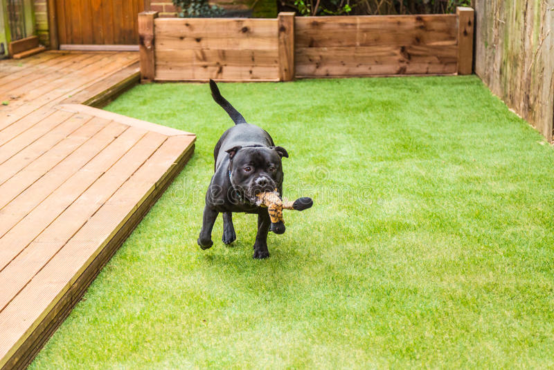 Insegua il funzionamento sull'erba artificiale dal decking con un giocattolo nel suo mout fotografia stock libera da diritti
