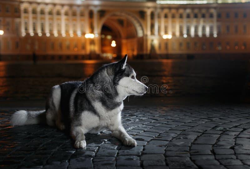 Insegua il husky siberiano che cammina nella città, San Pietroburgo, Russia, immagine stock