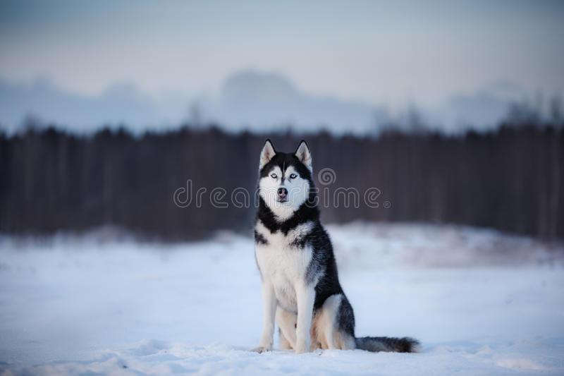 Insegua il husky siberiano dentro all'aperto, obbediente ed atmosferico immagini stock libere da diritti