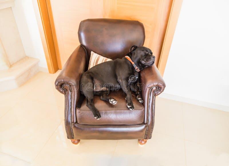 Insegua il sonno su una sedia retro di cuoio marrone fotografia stock