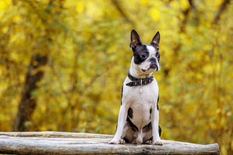 Insegua la razza Boston Terrier che si siede nel parco sul banco fotografia stock libera da diritti