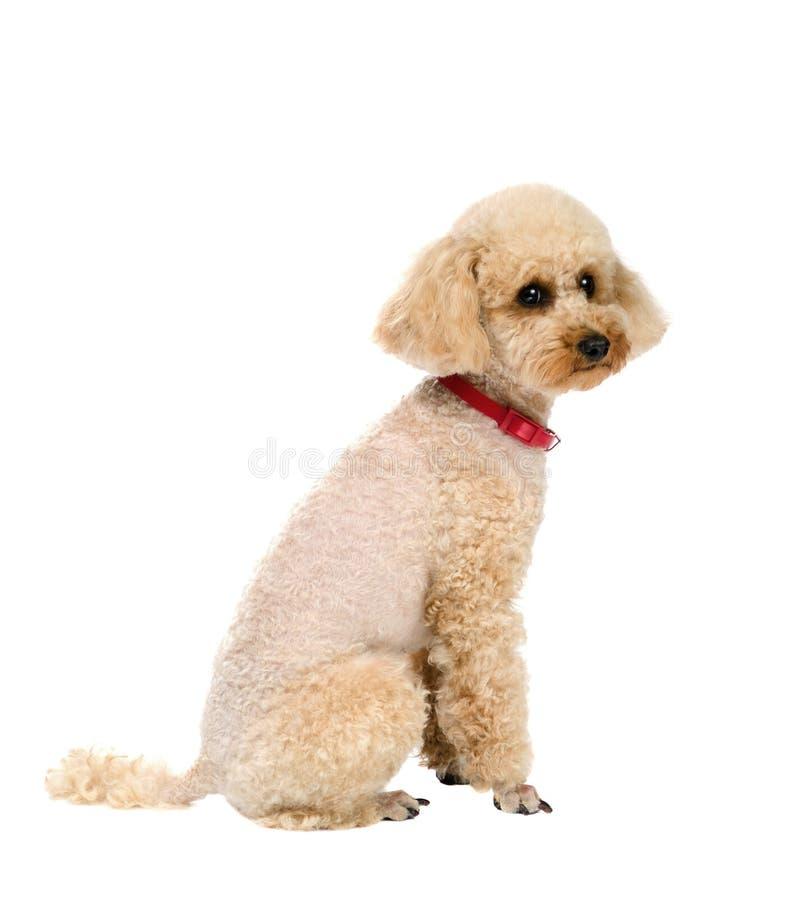 Insegua Toy Poodle che si siede su un fondo bianco con un collare rosso immagine stock