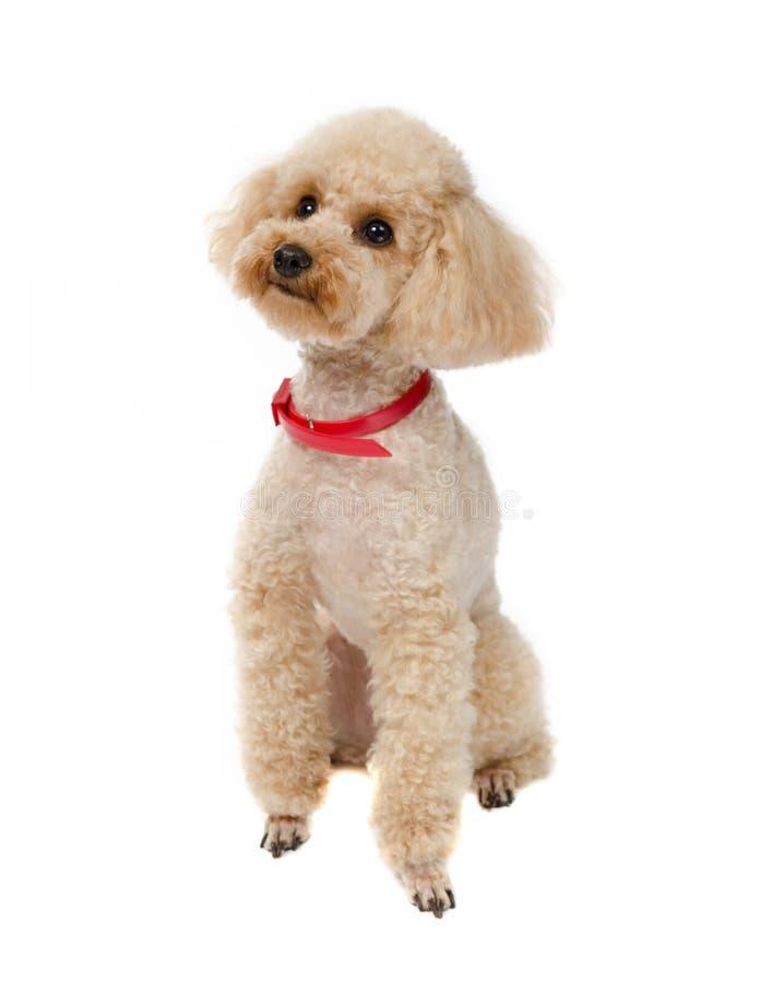 Insegua Toy Poodle che si siede su un fondo bianco con un collare rosso fotografia stock libera da diritti