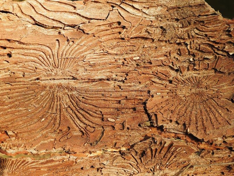 Insektów iść miejsca na drzewnej barkentynie, Lithuania zdjęcie stock