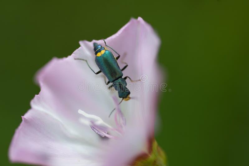 Insekt ścigi zieleni oedemere odpoczywa na menchiach kwitnie zamknięty up zdjęcie royalty free