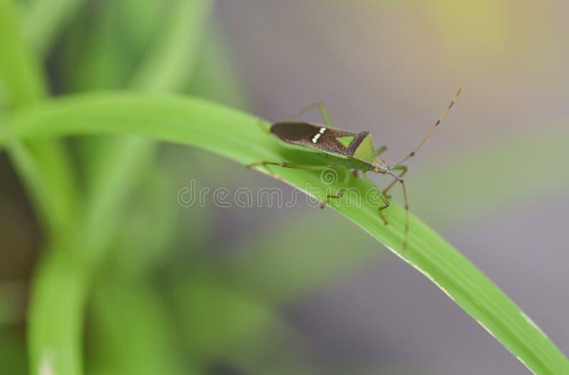 Insekt auf dem Gras stockbilder